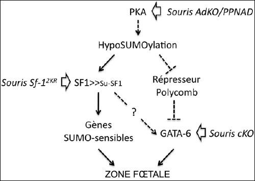Mécanismes génétiques avérés ou hypothétiques...